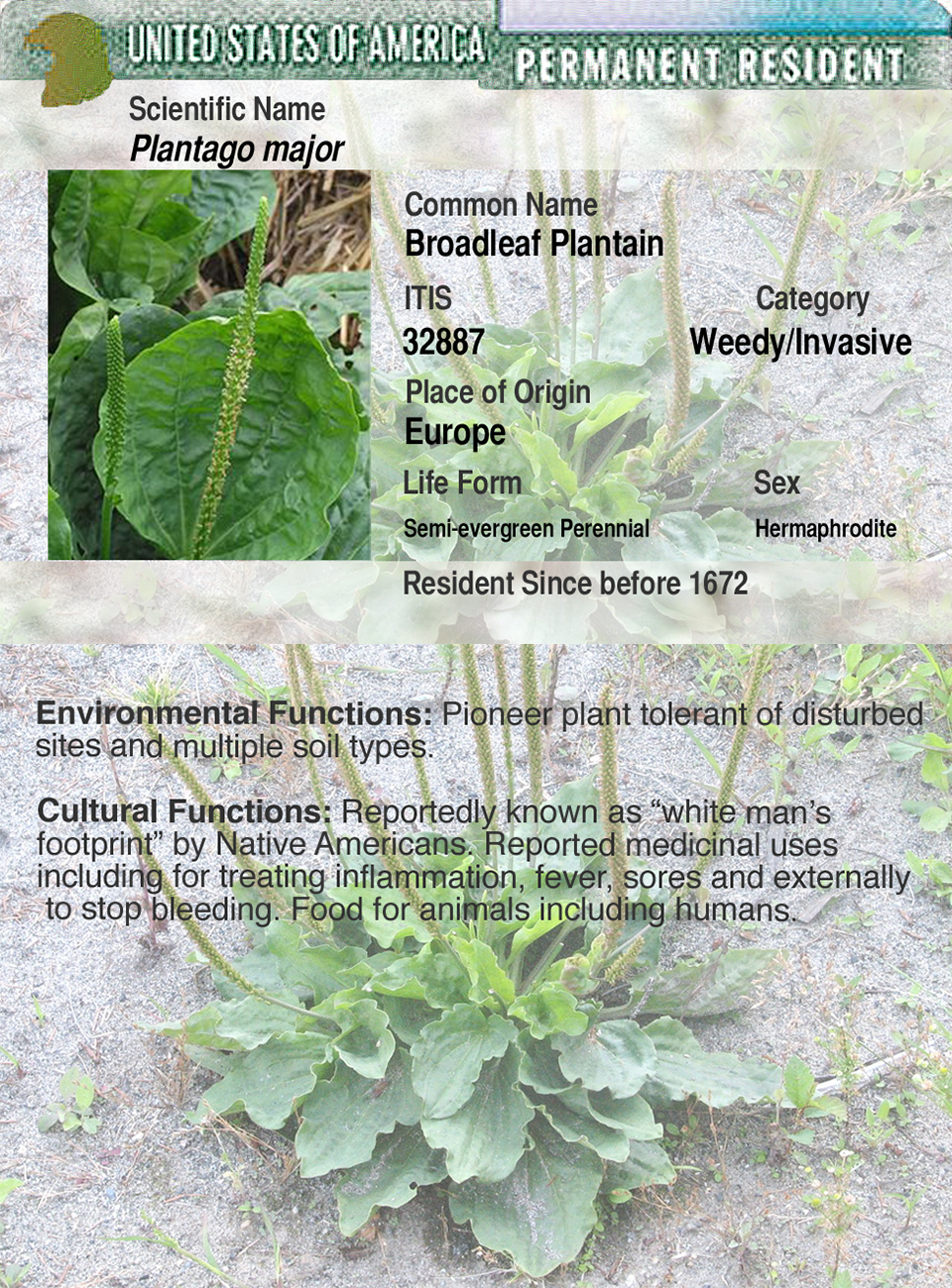 GCBroadleaf Plantain-w-flap1